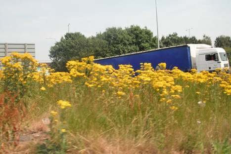 Renewed attack on Britain's ragwort problem | Horses  around the world | Scoop.it