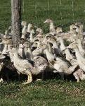 Point sur le virus émergent d'influenza aviaire H5N8   Anses - Agence nationale de sécurité sanitaire de l'alimentation, de l'environnement et du travail   Alimentation Santé Environnement   Scoop.it