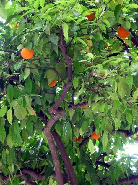 Right time to trim citrus | CALS in the News | Scoop.it