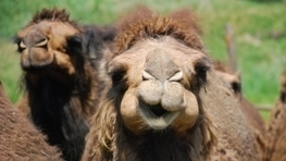 Camels are MERS Virus Reservoirs | Virology News | Scoop.it