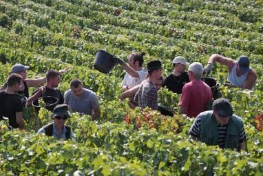 Les vendanges devraient démarrer dès le 7 septembre en Champagne | Route des vins | Scoop.it