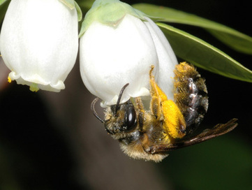 """Promiscuous"" Bees and Vanishing Insects Mean Less Food for Us 