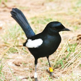 Daftar Harga Burung Kacer Berbagai Jenis Terbar