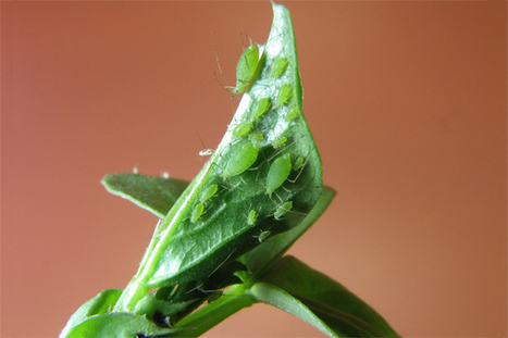 ScienceShot: How an Aphid Is Like a Cat - ScienceNOW | Research from the NC Agricultural Research Service | Scoop.it