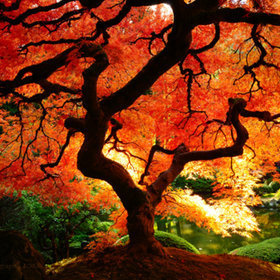 "Autumn Japanese Maple by Garrick Liddell | ""Cameras, Camcorders, Pictures, HDR, Gadgets, Films, Movies, Landscapes"" 