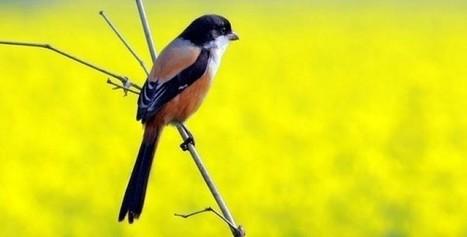 Locally we called harichacha bird tsu blog locally we called harichacha bird fandeluxe Images