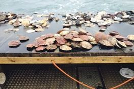 Scallop collapse   Food issues   Scoop.it
