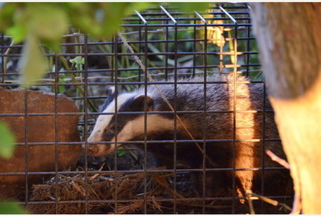 Tory victory spares livestock farmers need to go to court to keep on with badger cull   Leading for Nature   Scoop.it