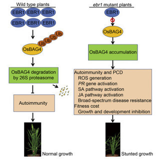 An E3Ubiquitin Ligase-BAG Protein Module Controls Plant Innate Immunity and Broad-Spectrum Disease Resistance | Plant-microbe interaction | Scoop.it