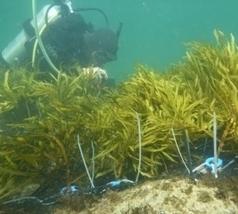 Bald reef gets seaweed transplant | Sustain Our Earth | Scoop.it