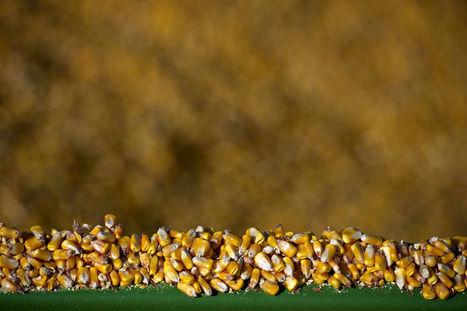 Corn Caps Biggest Drop Since 1960 as Harvest Rises to Record | MAIZE | Scoop.it
