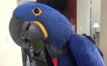 Pet Birds for Sale - Buy Cockatiel, African Gre
