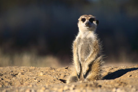 Meerkat for Android is out of beta on Google Play | Google + Applications | Scoop.it