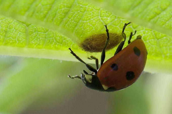 biological warfare parasitic wasp uses a virus