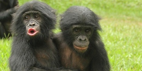 Young Apes Show Empathy & Comfort Each Other Like Human Kids, New Study Suggests   Empathy and Animals   Scoop.it