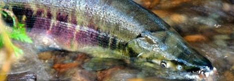 Ohop Creek Restoration | South Puget Sound Salmon Enhancement ... | Farming, Forests, Water, Fishing and Environment | Scoop.it