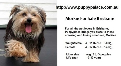 Morkie For Sale Brisbane   Puppies For Sale Que