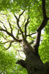 Diseased trees new source of climate gas | Trending Microbes | Scoop.it