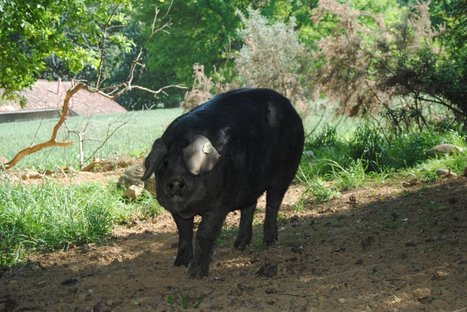 Bernard Laporte invité d'honneur de la Fête du cochon de Saint Lary samedi 21 Janvier | Saint-Lary | Scoop.it