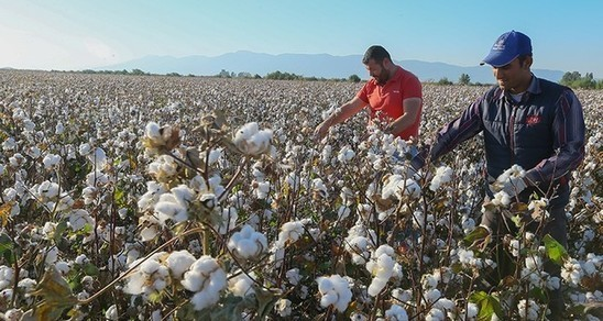 Turkey harvests world's highest yields of non-GMO cotton