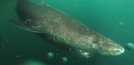 Les requins du Groenland peuvent vivre pendant quatre siècles | COMMUNITY MANAGEMENT - CM2 | Scoop.it