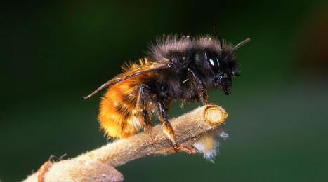 Elles sont solitaires, excellentes pollinisatrices et ne piquent pas… Et si vous veniez en aide aux abeilles sauvages? | Histoires Naturelles | Scoop.it