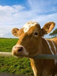 The Truth About Grassfed Beef - Food Revolution Network Blog   GiftBasketVillas News - from my home to yours   Scoop.it