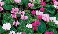 Alys Fowler: winter bedding plants | 100 Acre Wood | Scoop.it