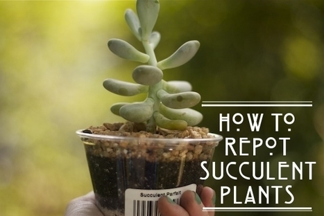 How To Repot Succulents - The Goods | The Official Blog of UncommonGoods | Gardening Life | Scoop.it