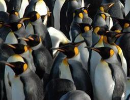 Boiled-to-death penguins are back from the brink | A Sense of the Ridiculous | Scoop.it