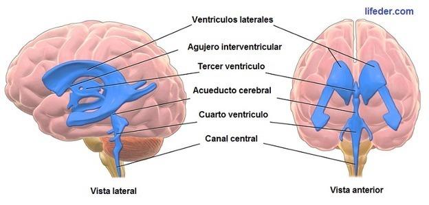 Ventrículos Cerebrales: Anatomía,...