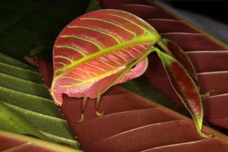New leaf-like katydids of Borneo show dramatically different color differences between sexes | Amazing Science | Scoop.it