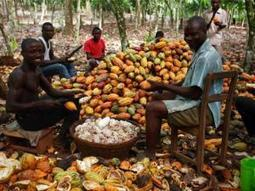 Cocoa production to hit 1.2 million tonnes this year | Business & Financial Times Online | Fairly Traded News | Scoop.it
