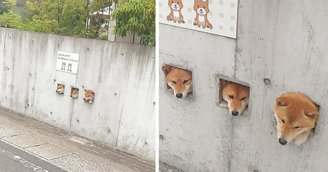 These #Shiba Are Sticking Their Heads Out For Attention And It's The #Cutest Thing Ever - #Japan | What makes Japan unique | Scoop.it