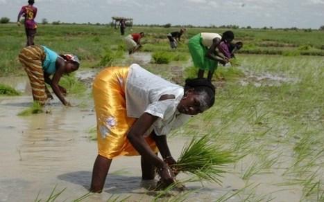Des chercheurs africains à l'école des nouvelles technologies de la riziculture – VivAfrik | géographie collège | Scoop.it