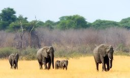 Water relief for 8,000 thirsty elephants neglected by Zimbabwe | Pachyderm Magazine | Scoop.it