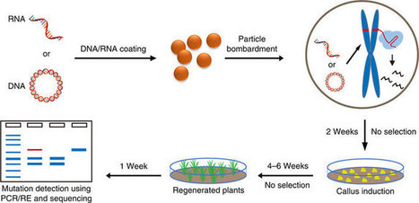 Efficient and transgene-free genome editing in wheat through transient expression of CRISPR/Cas9 DNA or RNA   Plant Biology Teaching Resources (Higher Education)   Scoop.it