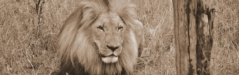 Trophy Hunting vs Ecotourism: True conservation of African lions? | Trophy Hunting: It's Impact on Wildlife and People | Scoop.it