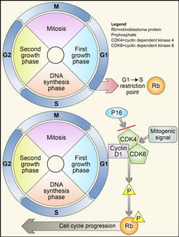 Targeting Cell Cycle Progression Cdk4 6 Inhibi