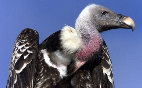 'Vulture spying for Israel' caught in Sudan | World News Scoop | Scoop.it