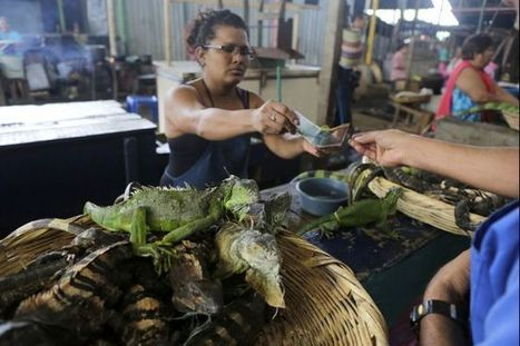 Nicaragua's government is telling its hungry citizens to eat more iguanas | Sustainability Science | Scoop.it