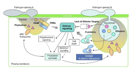 MPMI: Current Understandings on Plant Nonhost Resistance (2016) | Plants and Microbes | Scoop.it