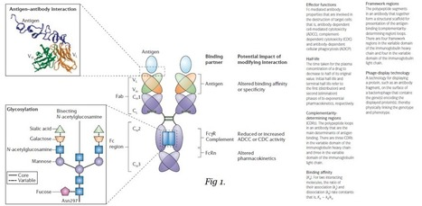 Therapeutic antibody generation | Biomedgirl | biopharmaceuticals | Scoop.it