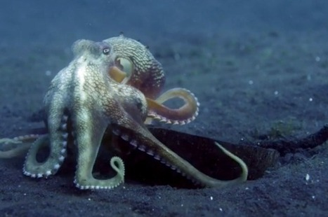 Watch An Octopus Hide Itself In A Coconut | IFLScience | Pet Sitter Picks | Scoop.it