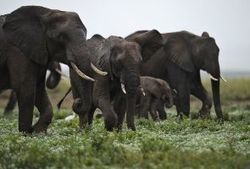 Elephant family slaughtered in Kenya | Criminology and Economic Theory | Scoop.it