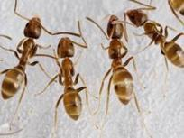 Ants! Ants! Ants! Free Webinar Set for March 1 - eXtension News | All About Ants | Scoop.it