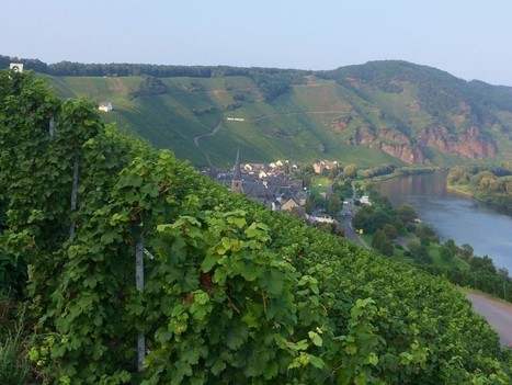 Mosel and Pfalz Harvests are Looking Good | Route des vins | Scoop.it