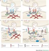 Gephyrin: a master regulator of neuronal function : Nature Reviews Neuroscience   Neuroscience_topics   Scoop.it