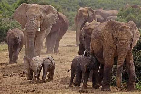 The Heavy Cost of Elephant Poaching | Wildlife Trafficking: Who Does it? Allows it? | Scoop.it