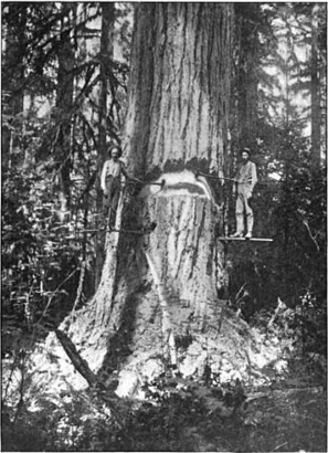 Tallest Douglas Fir in America | Native Trees of Oregon | Scoop.it